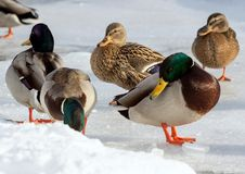 Flock of the mallards on the snow. Birds on the pond in winter. Wild birds in the city Royalty Free Stock Photos