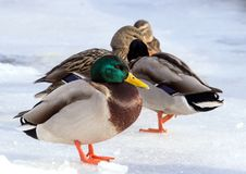 Flock of the mallards on the snow. Birds on the pond in winter. Wild birds in the city Stock Photos