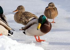 Flock of the mallards on the snow. Birds on the pond in winter. Wild birds in the city Stock Photography
