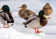 Flock of the mallards on the snow. Birds on the pond in winter. Wild birds in the city Stock Image