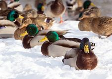 Flock of the mallards on the snow. Birds on the pond in winter. Wild birds in the city Royalty Free Stock Photography