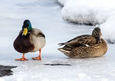 Flock of the mallards on the snow. Birds on the pond in winter. Wild birds in the city Royalty Free Stock Images