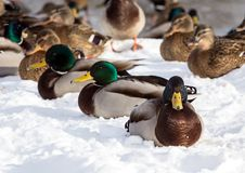 Flock of the mallards on the snow. Birds on the pond in winter. Wild birds in the city Royalty Free Stock Image
