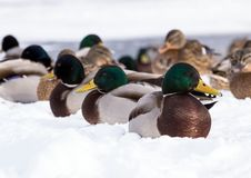 Flock of the mallards on the snow. Birds on the pond in winter. Wild birds in the city Stock Photo