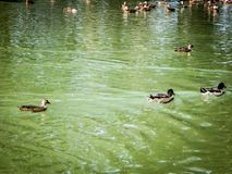 Flock of mallards swimming. Flock of mallards gather at the pond Stock Photos