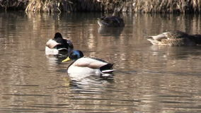 Flock of Mallards Swimming stock footage