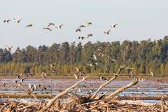 Flock of Mallards Royalty Free Stock Images