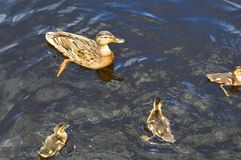 A flock of many beautiful wild water birds of ducks with chicks ducklings with beak and wings swims against the background of the royalty free stock image