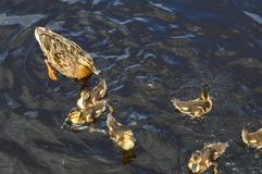 A flock of many beautiful wild water birds of ducks with chicks ducklings with beak and wings swims against the background of the royalty free stock images