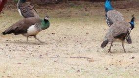 Flock of Many Peacock Hen Birds stock footage