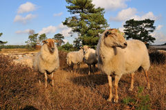 Flock with many sheep Royalty Free Stock Photography