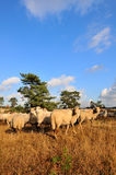 Flock with many sheep Royalty Free Stock Image