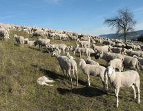 Flock with many sheep grazing in the mountain. Large flock with many sheep grazing in the mountain Stock Images