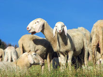 Flock with many sheep grazing Stock Photo
