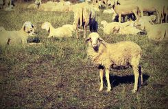 Flock with many sheep grazing Stock Photography