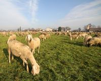 Flock with many sheep grazing Stock Photos