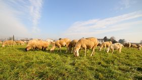 Flock with many sheep grazing Royalty Free Stock Photos