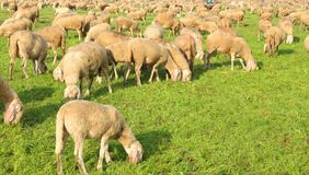 Flock with many sheep grazing Stock Image