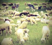 Flock with many sheep with lambs grazing in the high mountain me Stock Photography