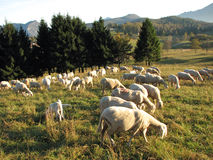 Flock with many sheep with long white fleece grazing on mountain Royalty Free Stock Photo