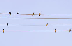 Flock of martin bird on wires Stock Photo