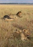 Flock med lejon i masaien Mara Arkivfoto