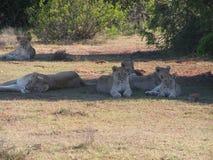 Flock med lejon i skuggan Arkivfoton