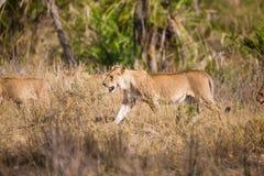Flock med lejon som går i Afrika Arkivbild