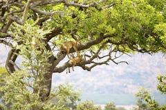 Flock med lejon vilar i träd Arkivfoto
