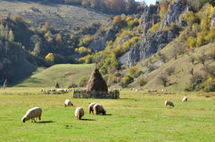 Flock of merino sheep pasture at autumn Stock Photography