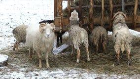 Flock of Merino sheeps eating hay stock video footage
