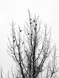 Flock of migrant birds. Birds of passage perched on branches of the tree in late of autumn Stock Photo