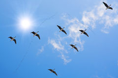 Flock of migrating Royalty Free Stock Image