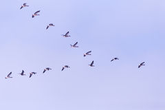 Flock of migrating bean geese Royalty Free Stock Image