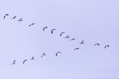 Flock of migrating bean geese Royalty Free Stock Images
