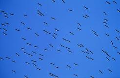 Flock of migrating birds Stock Images