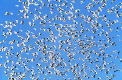 Flock of migrating birds Royalty Free Stock Photography