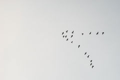 Flock of migrating birds Stock Image