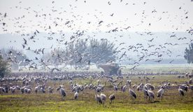 Flock of Migrating common cranes Grus grus, aka Eurasian cranes, wintering in Hula lake royalty free stock images
