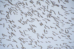 Flock of migrating white storks Royalty Free Stock Photo