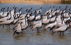 Flock of migratory birds. Migratory birds at a lake side royalty free stock photos