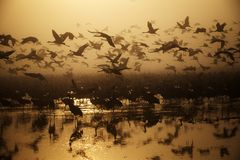 A flock of Migratory birds on the lake royalty free stock images