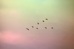 A flock of migratory birds lined up in a V formation. Royalty Free Stock Images