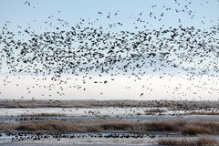 Flock of Migratory Birds over a Marsh. A flock of migratory birds flying over a marsh at Lower Klamath National Wildlife Refuge Royalty Free Stock Images