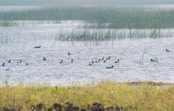 Flock of Migratory Wetland Birds in the Wetland. Which includes Northern Pintails, Common Coots , Common Pochards stock image