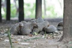 Flock of Mongooses Royalty Free Stock Photography