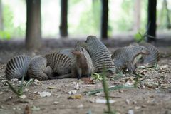 Flock of Mongooses Royalty Free Stock Photos