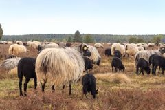 Flock of moorland sheep Heidschnucke with young lambs in Luneburg Heath near Undeloh and Wilsede, Germany Stock Photography