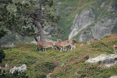 Flock of mouflons in Pyrenees Stock Photography