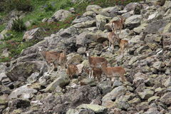 Flock of mouflons in Pyrenees Stock Image